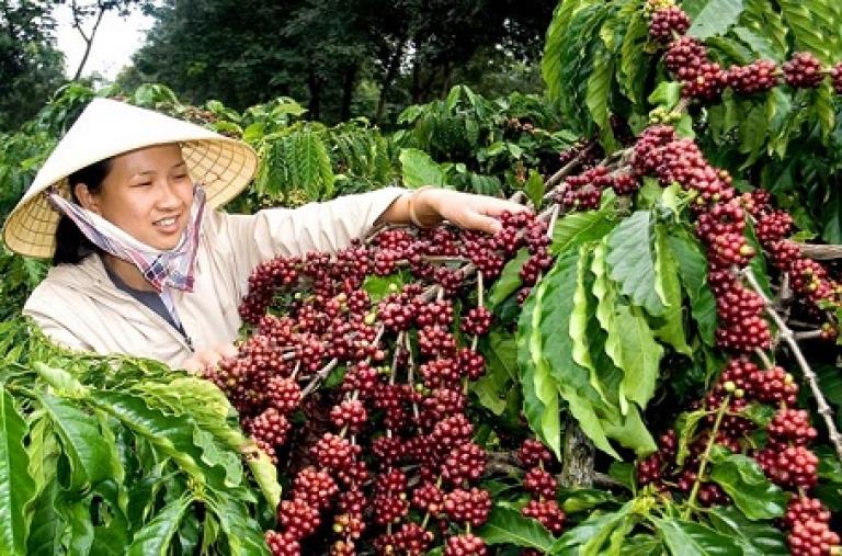 Dự án Chuyển đổi nông nghiệp bền vững: Góp phần nâng cao năng suất và chất lượng cà phê