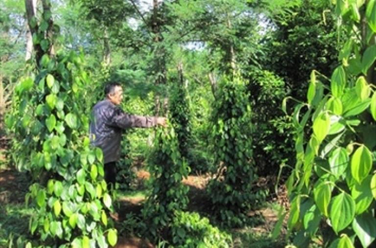 Sản xuất tiêu hữu cơ