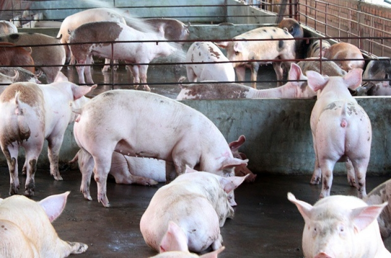Thủ tướng chỉ đạo một số giải pháp ổn định phát triển chăn nuôi