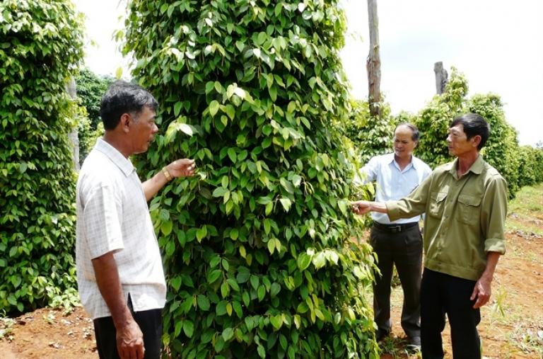 Giải pháp phát triển hồ tiêu bền vững