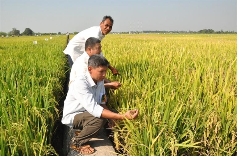Phát triển giống lúa thích ứng biến đổi khí hậu