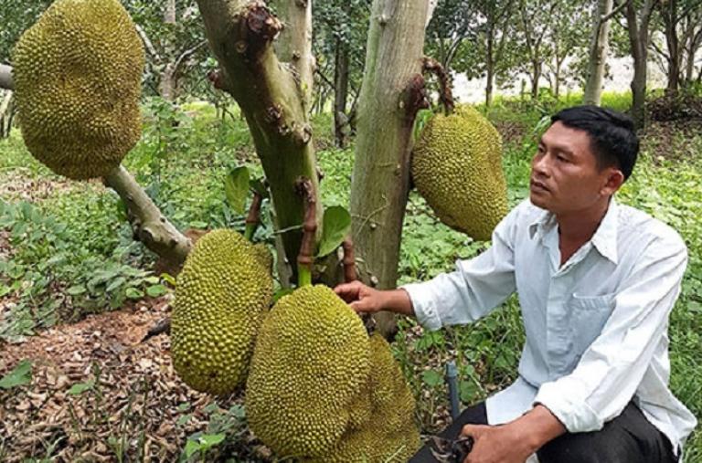 Bình Thuận: Trồng rừng mít không hạt, cây nào cũng đầy trái, thời dịch Covid-19 sao bán vẫn đắt hàng?
